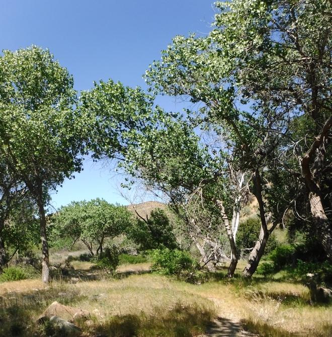 Oak Savanah